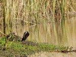 double-crested-cormorant-on-kumeyaay-lake